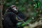 Eastern common chimpanzee careful against a tree Tanzania (Chimpanzee)