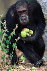 Eastern common chimpanzee carrying mangos Tanzania (Chimpanzee)