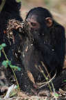 Young chimpanzee playing with plant remains Tanzania (Chimpanzee)
