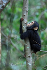 Young eastern common chimpanzee hanging on a vine Tanzania (Chimpanzee)