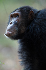 Male eastern common chimpanzee with up hair Tanzania (Chimpanzee)
