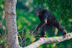 Male eastern common chimpanzee walking on a branch Tanzania (Chimpanzee)