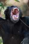 Male Eastern common chimpanzee yawning Tanzania (Chimpanzee)