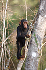 Young common chimpanzee climbing on a branch Tanzania (Chimpanzee)