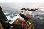 Atlantic Puffins on a Latrabjarg coastal cliff Iceland  (Atlantic Puffin)
