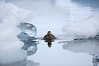 Female Common Eider swimming on a glacial lake Iceland (Common Eider )