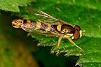 Male Hoverfly resting on a leaf Hof ter Musschen