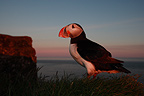 Atlantic puffin at twilight Latrabjarg cliffs Iceland (Atlantic Puffin)
