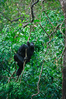Female common chimpanzee climbing on a branch Tanzania (Chimpanzee)