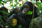 Young Eastern common chimpanzee eating a fruit Tanzania (Chimpanzee)