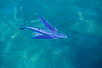 Flyingfish swimming to the surface Mediterranean Sea France (Flyingfish)