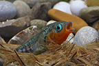Stickleback males made his nest  (Stickleback)
