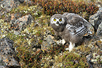 Young Snowy Owl on rocks Somerset Island Canada (Snowy Owl)