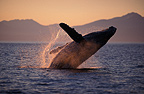 Humpback Whale breaching at sunset Alaska (Humpback whale)