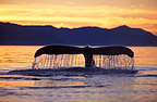 Humpback Whale tail flukes at sunset Alaska (Humpback whale)