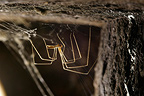 Daddy long-legs Spider in the wine cellars of the castle (Spider)