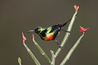 Beautiful Sunbird on branch Baringo Lake Kenya (Beautiful Sunbird)