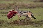 Black-backed Jackal with a piece of flesh Masai Mara� (Back-backed jackal)