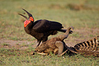 Southern Ground Hornbill and remains Masai Mara Kenya  (Southern Ground-Hornbill)
