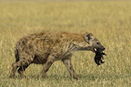 Spotted hyena carrying a newborn Masai Mara Kenya (Spotted Hyena)