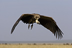 African White-backed Vulture in flight, Masai Mara, Kenya�