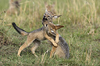 Young Black-backed Jackals playing Masai Mara Kenya� (Black-backed jackal)
