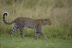 Leopard walking in savanna Masai Mara Kenya  (African leopard)