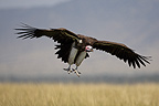 Lappet-faced Vulture in flight, Masai Mara, Kenya