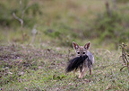 Young Black-backed Jackal playing Masai Mara Kenya (Black-backed jackal)