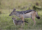 Black-backed Jackal and young playing Masai Mara Kenya (Back-backed jackal)