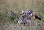Black-backed Jackal feeding young Masai Mara Kenya (Back-backed jackal)