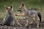 Young Black-backed Jackals playing Masai Mara Kenya (Black-backed jackal)