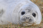 Young Grey seal lying in the grass Lincolnshire UK (Gray seal)