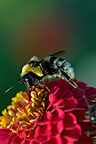 Bumblebee gathering nectar of a dahlia flower in a garden