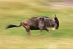 White-bearded Wildebeest running during migration Kenya (Eastern white-bearded wildebeest)