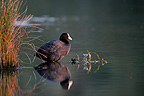Common coot at sunset in Brognard NR France (Common coot)