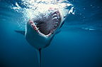 Great White Shark biting in the empty South Africa (Great white shark)