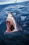 Great White Shark threatening South Africa (Great white shark)