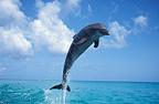 Bottlenose Dolphin jumping out of water Honduras Caribbean (Bottlenose dolphin )