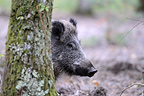 Wild Boar head hidden behind a tree in the woods France (Wild boar)