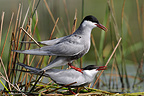 Mating of Whiskered Terns Sologne France (Whiskered Tern)