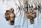 Young Black-headed Gulls calling on a pond  Sologne� (Black-headed Gull)