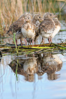 Young Black-headed Gulls on a nest in a pond  Sologne  (Black-headed Gull)