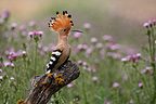 Hoopoe on a branch Spain (Hoopoe)