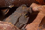 South American common Toad in dead leaves French Guiana