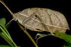 Leaf grasshopper at night French Guiana