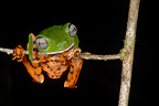 Tiger Striped Leaf Frog on branch French Guiana
