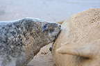 Female Grey seal suckling its young Lincolnshire GB (Gray seal)