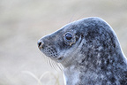 Portrait of a young Grey seal Lincolnshire GB (Gray seal)