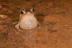 South american common toad male singing French Guiana